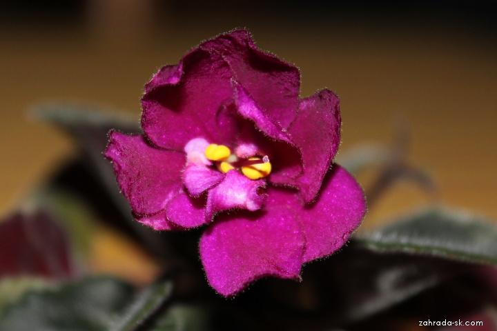 Africká fialka (Saintpaulia sp)