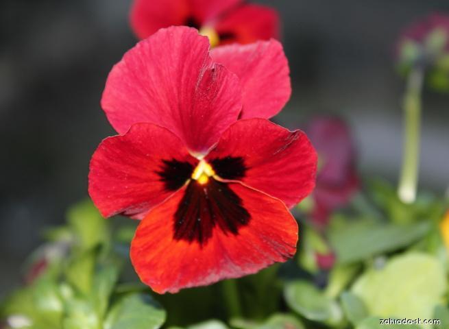 Fialka - Viola cornuta