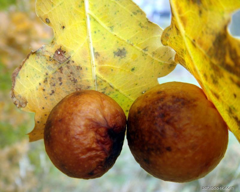 Dub - duběnka (Quercus)