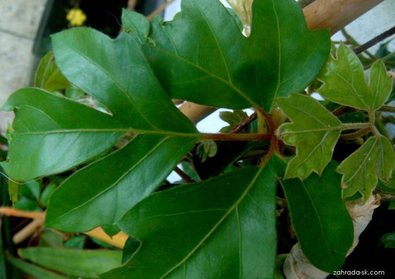 Žumen (Cissus rhombifolia)