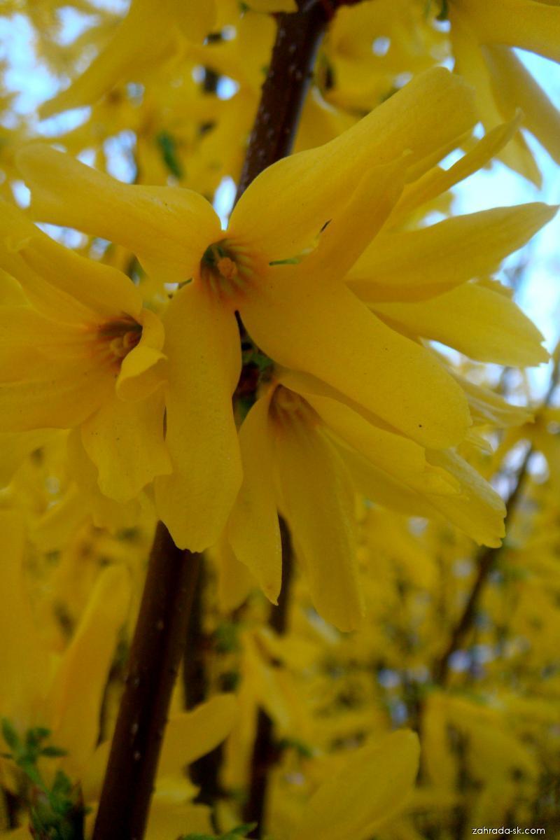 Zlatice (Forsythia)