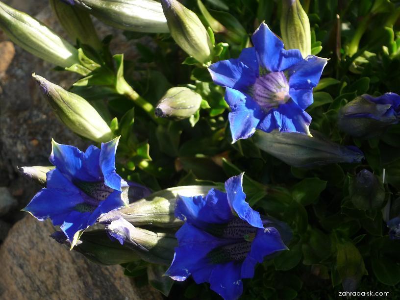 Hořec bezlodyžný (Gentiana acaulis)