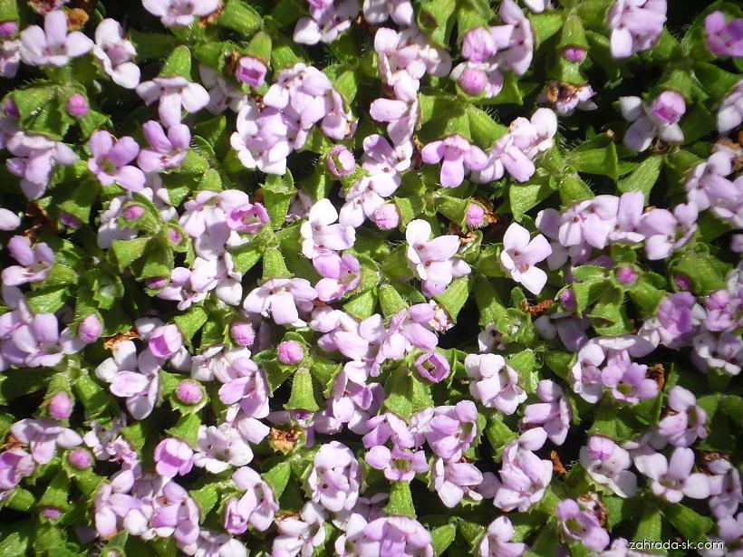Mateřídouška (Thymus caespititius)