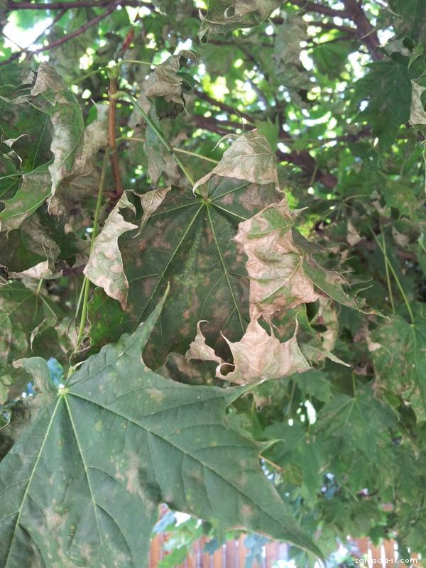 Javor - listy na korune stromu