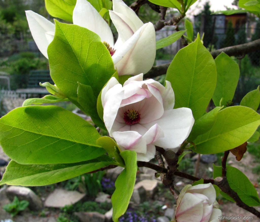 Magnolie (Magnolia x soulangeana)