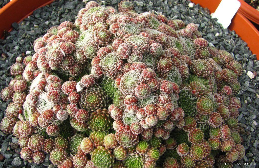 Netřesk pavučinatý (Sempervivum arachnoideum)