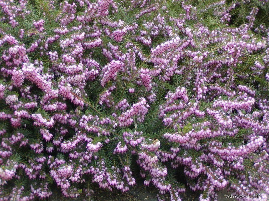 Vresovec bylinný - Erica carnea
