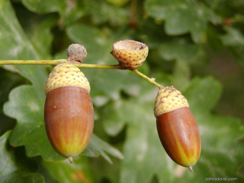 Dub letný - Quercus robur