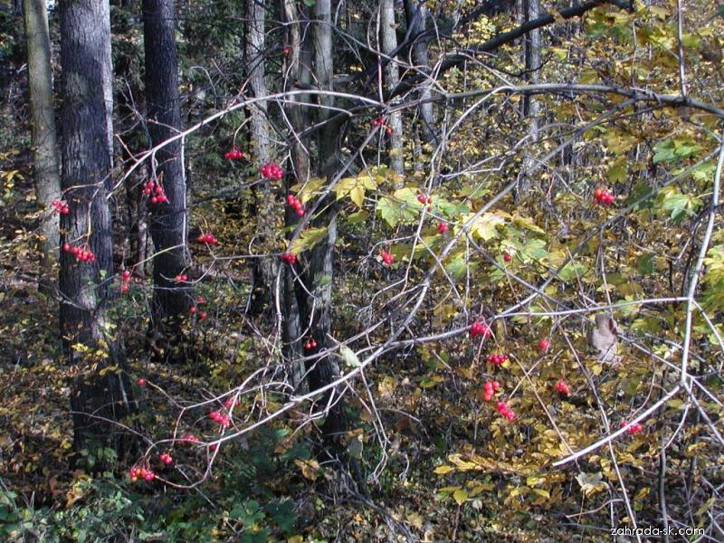Kalina obyčajná - Viburnum opulus