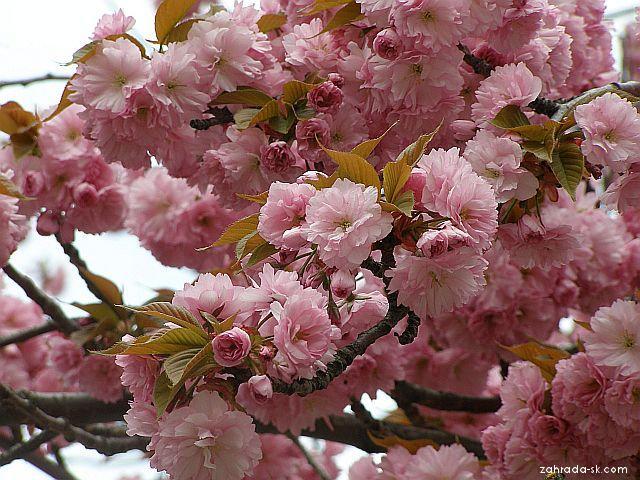 Japanische Blütenkirsche Kanzan (Prunus serrulata)