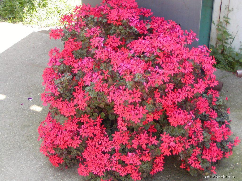 Muškát - Pelargonium peltatum