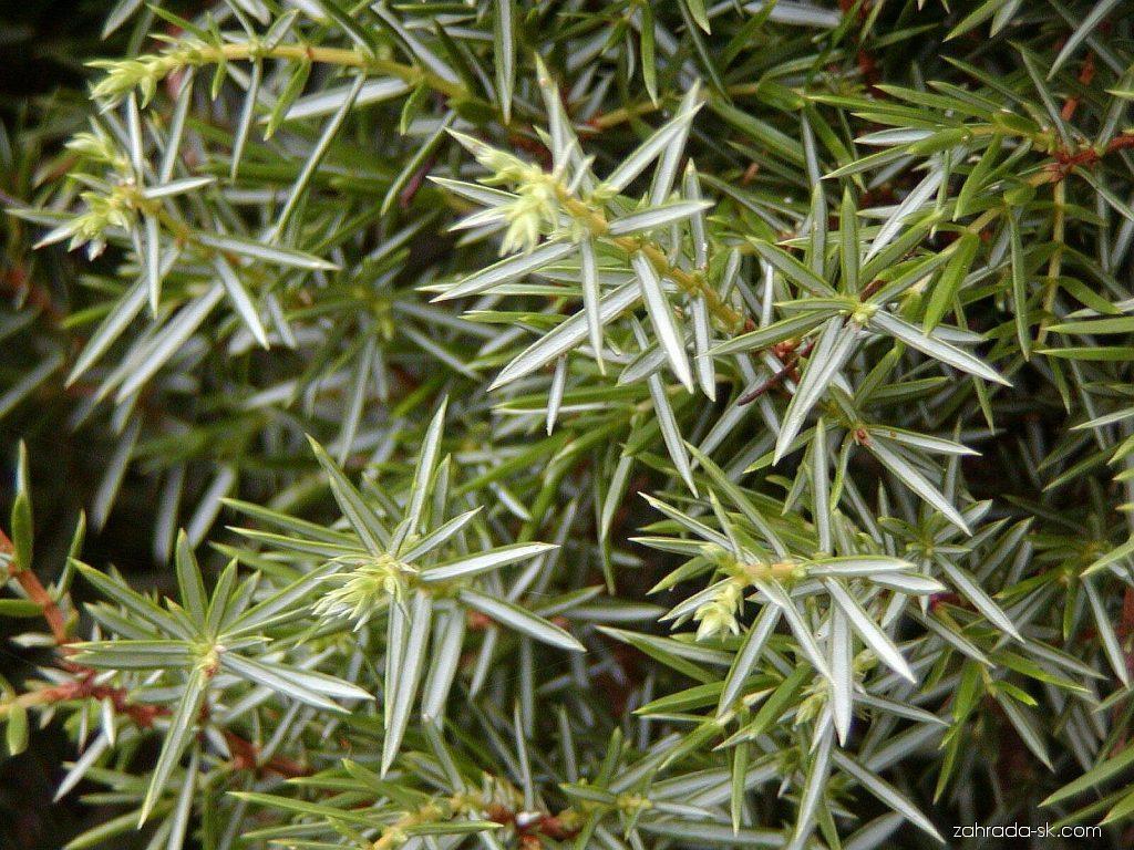 Borievka obyčajná - Juniperus communis