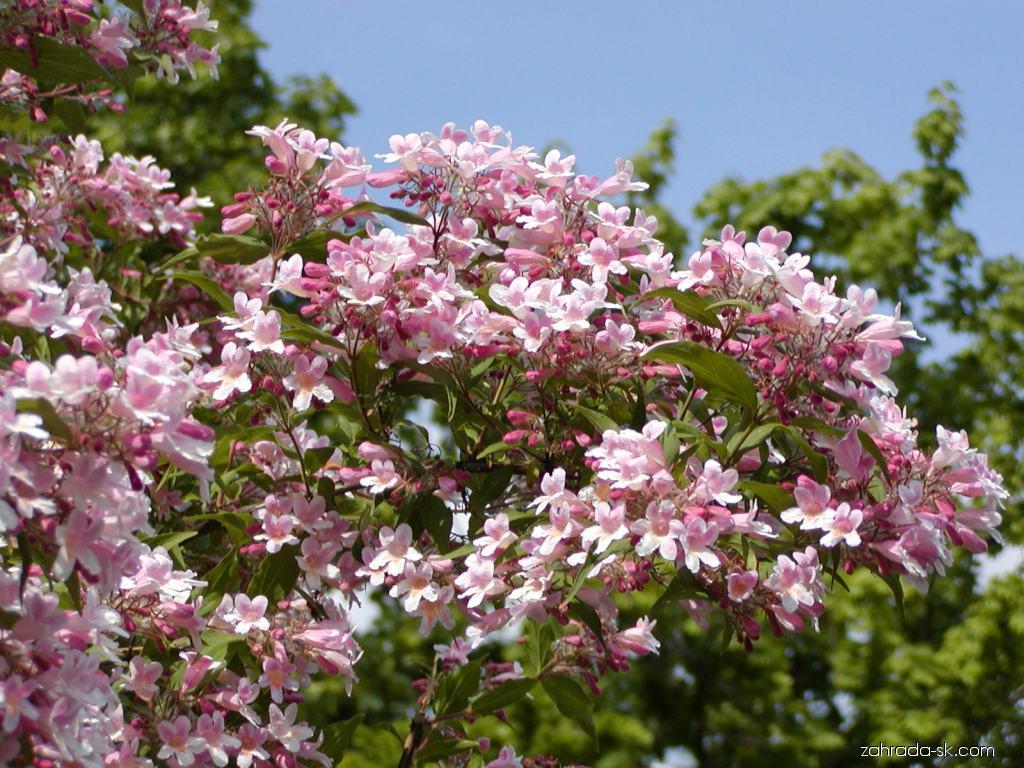 Kolkvícia ľúbezná - Kolkwitzia amabilis