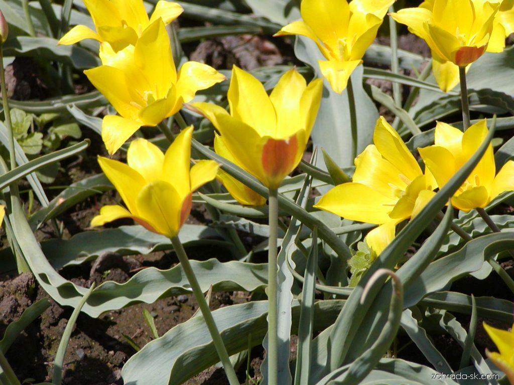 Tulipán - Tulipa kolpakowskiana