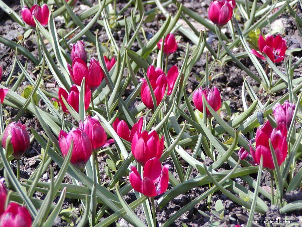 Tulipán - Tulipa kurdica