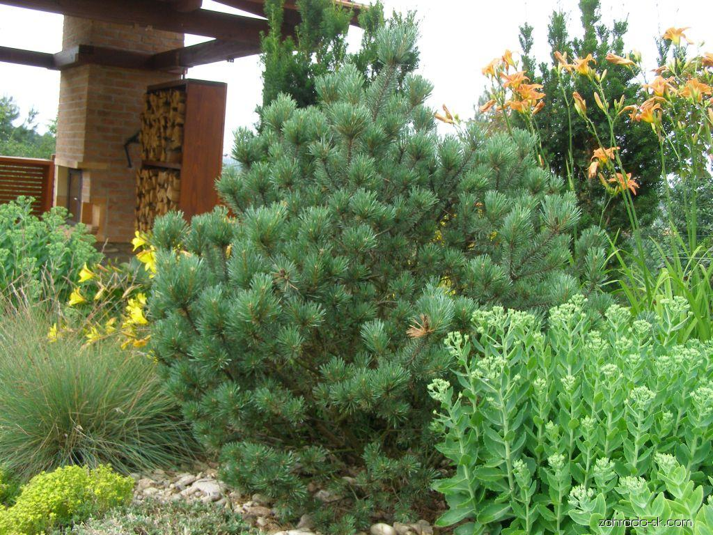 Borovica lesná - Pinus sylvestris Watereri