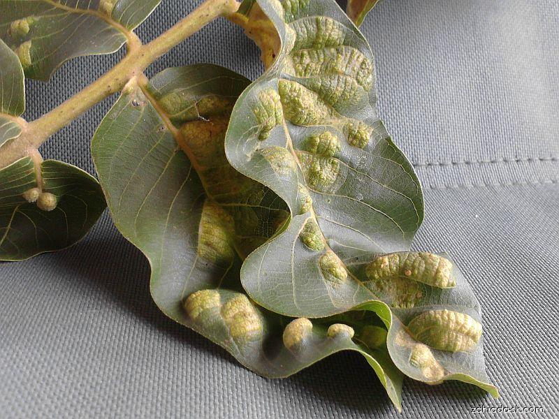 Plstnatosť orechov, erinóza (Aceria erinea)