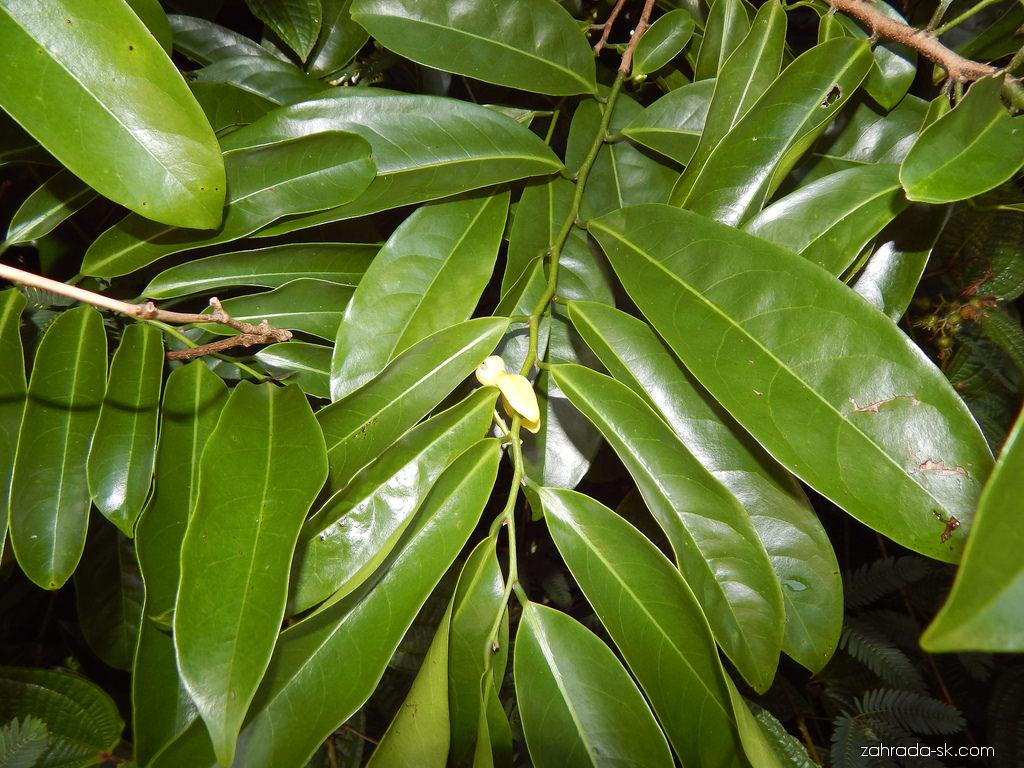 Climbing ylang-ylang - leaves (Artabotrys hexapetalus)