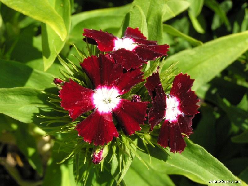 Hvozdík vousatý (Dianthus barbatus)