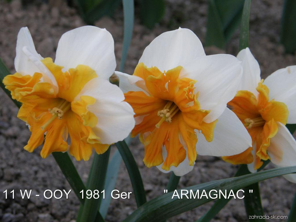 Narcis - Narcissus Armagnac