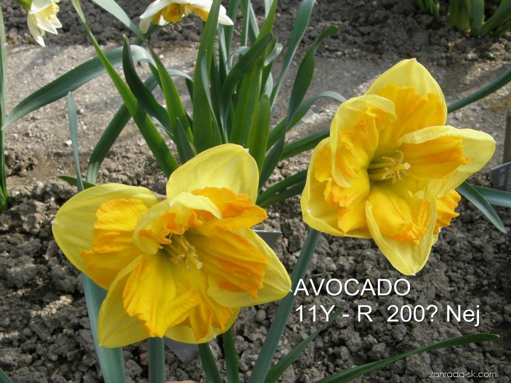 Narcis - Narcissus Avocado