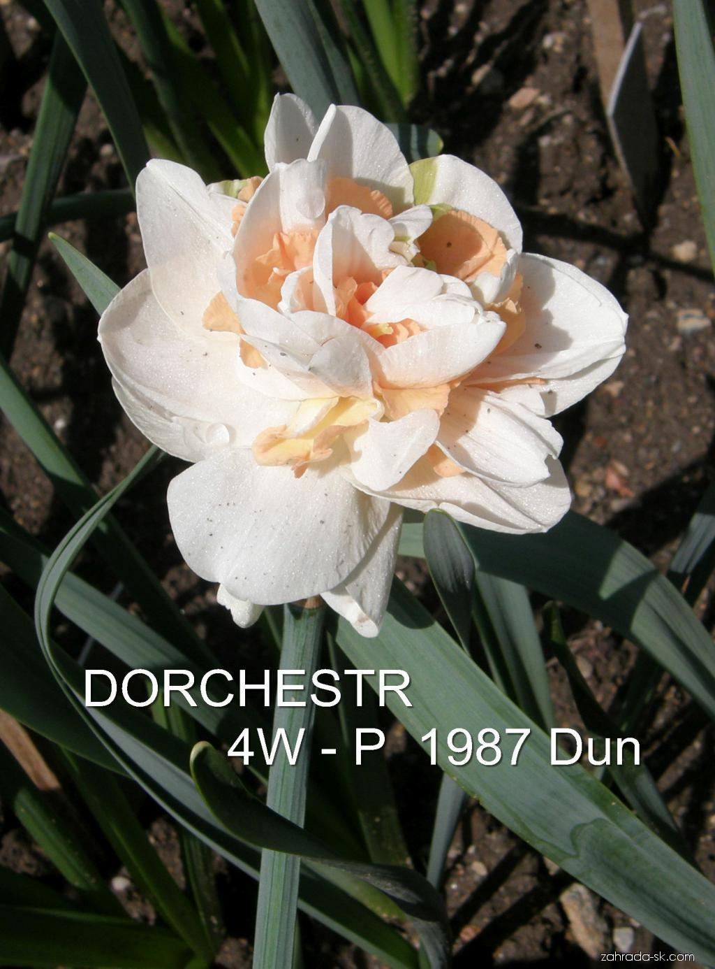 Narcis - Narcissus Dorchester