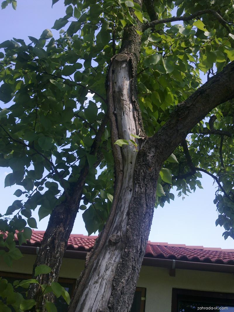 Marhuľa - opadávanie kory