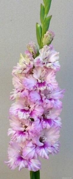 Mečík - Gladiolus Farebná Paráda