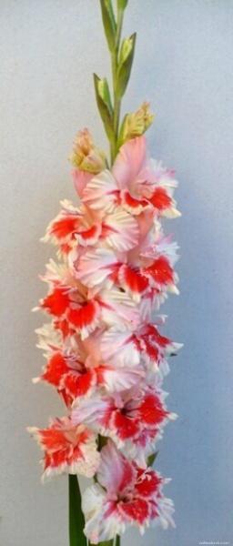 Mečík - Gladiolus Fešanda