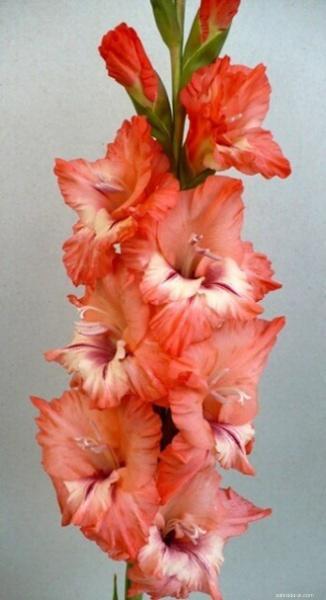 Mečík - Gladiolus Plameniak