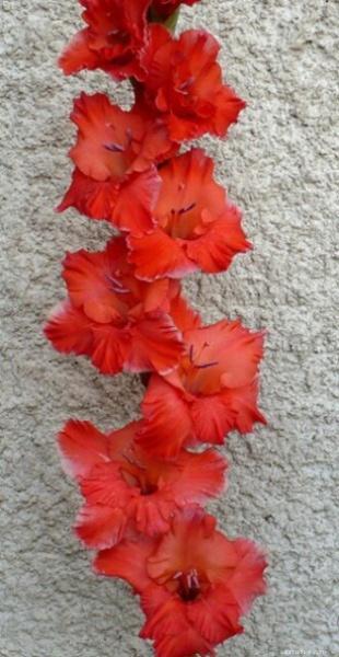 Mečík - Gladiolus Predátor
