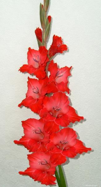 Mečík - Gladiolus Malá Mima