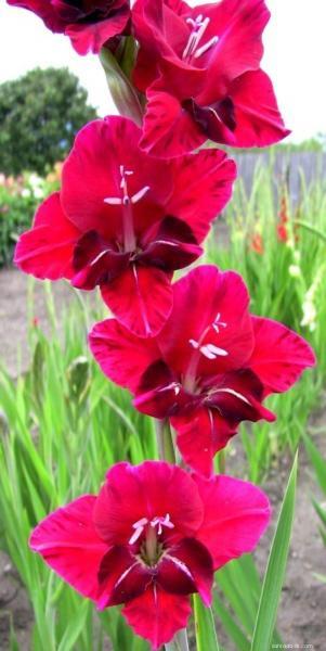 Mečík - Gladiolus Poker