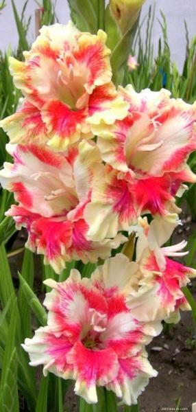 Mečík - Gladiolus Slnečný kvet