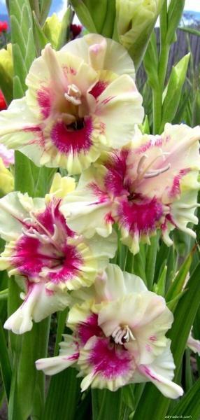 Mečík - Gladiolus Zvodné oči