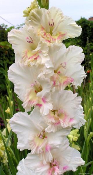 Mečík - Gladiolus Brilantný jazyk