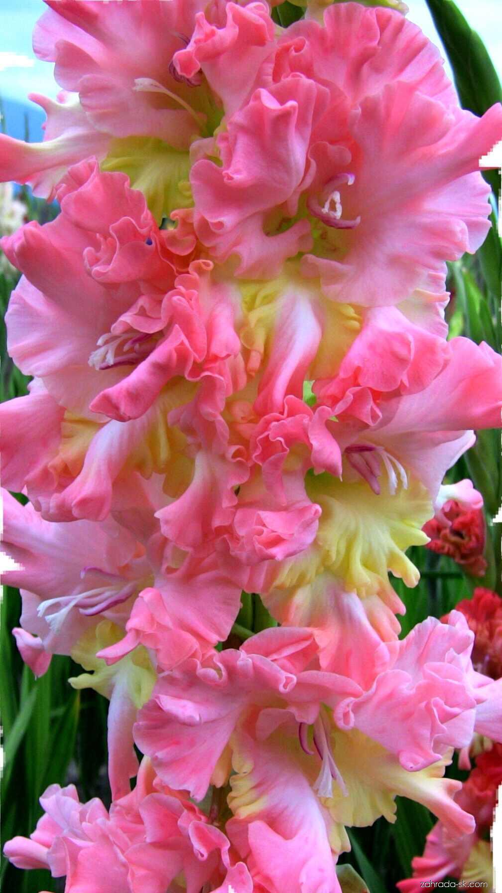 Mečík - Gladiolus Ultraviolet