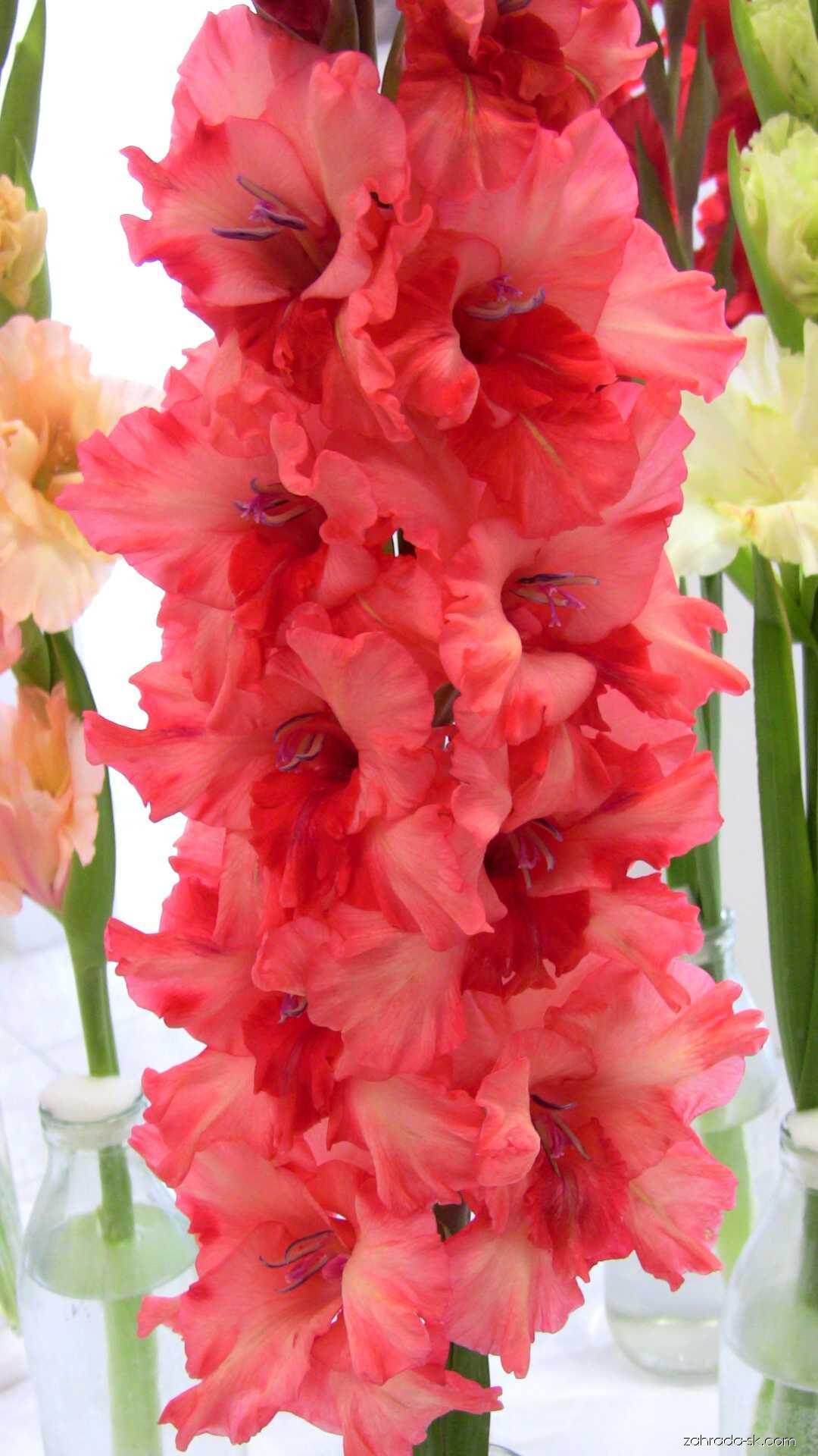 Mečík - Gladiolus Ružové sny