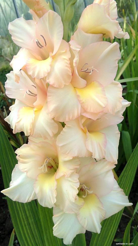 Mečík - Gladiolus Medové srdce