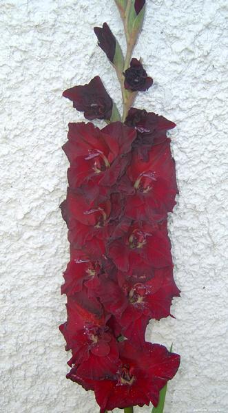 Mečík - Gladiolus Čierna brošňa