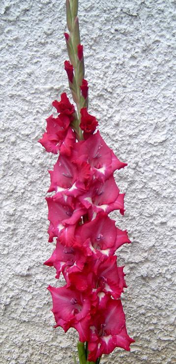Mečík - Gladiolus Klementina