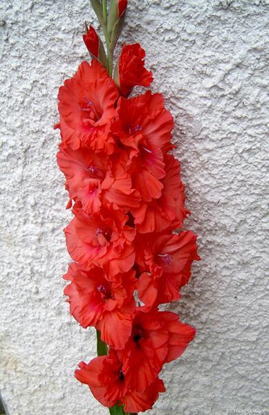 Mečík - Gladiolus Kraslica z Poľany