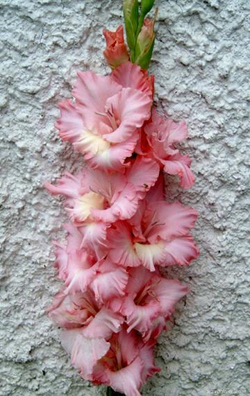 Mečík - Gladiolus Lentilka