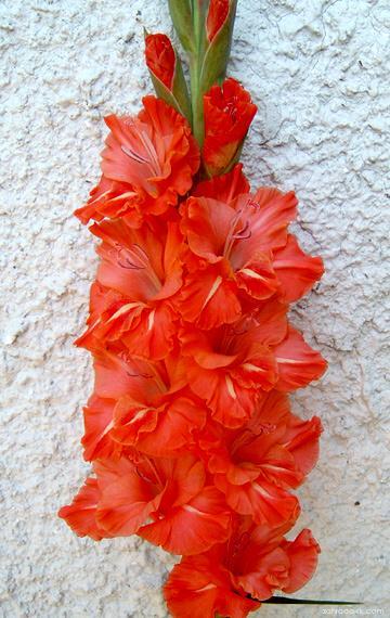 Mečík - Gladiolus Milica