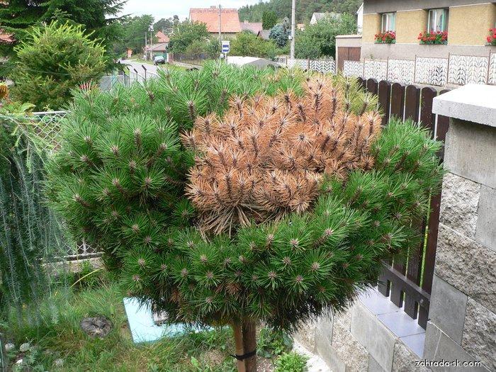 Borovice černá Brepo - zrznutí jehličí (Pinus nigra)
