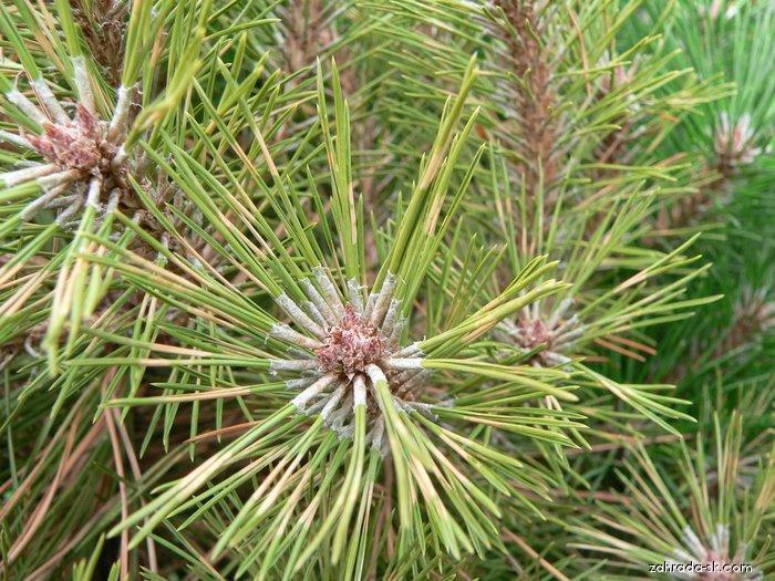 Borovice černá Brepo (Pinus nigra)