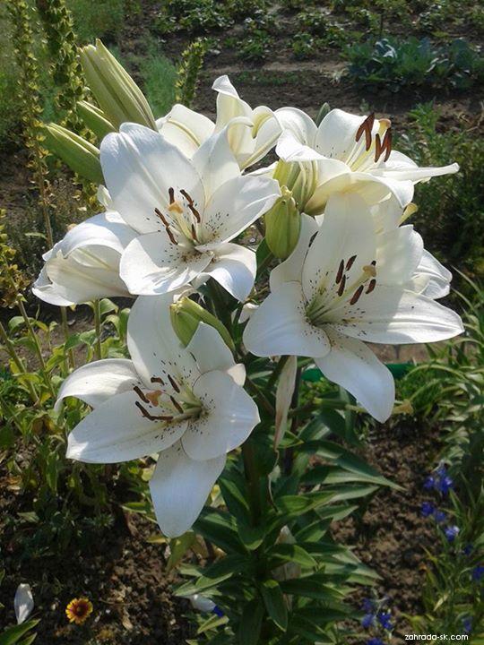 Ľalia - Lilium x hybridum Eyeliner