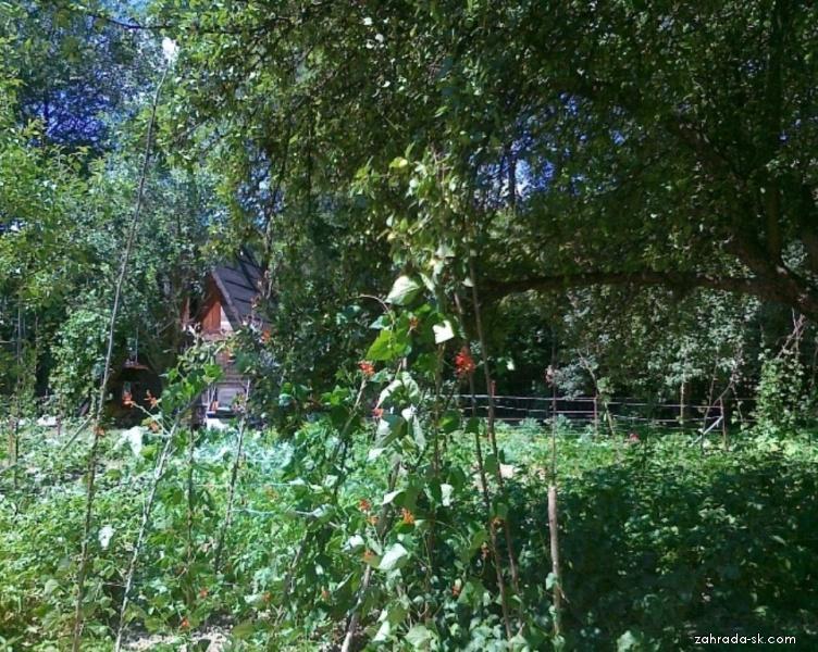 Fazuľa šarlátová - popínavá fazuľa, švábka Na obrázku sa z palice ťahá už aj na jabloň (Phaseolus coccineus)