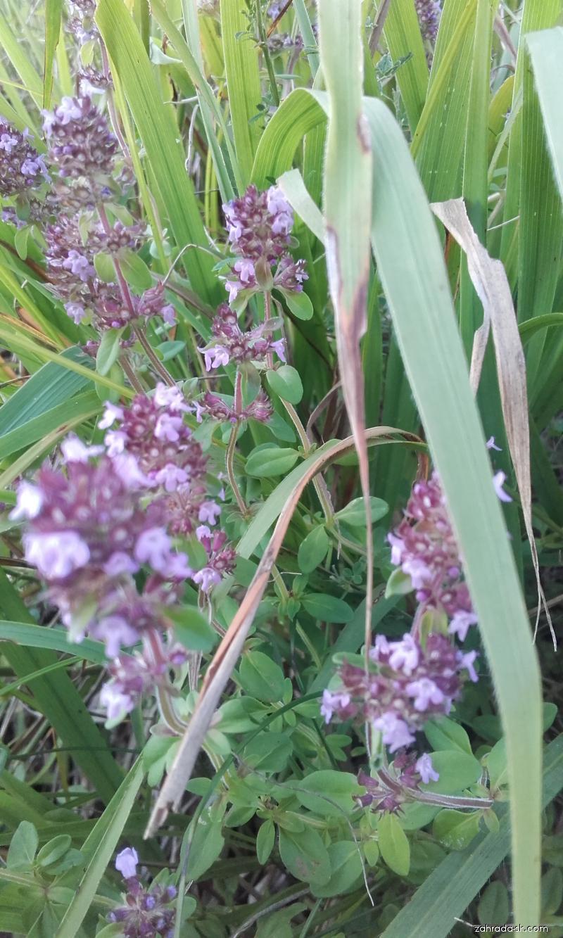 Dúška materina (Thymus serpyllum)