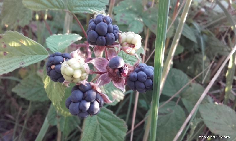 Ostružina černicová (Rubus fruticosus)